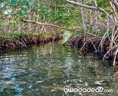 La mangrove en kayak Guadeloupe